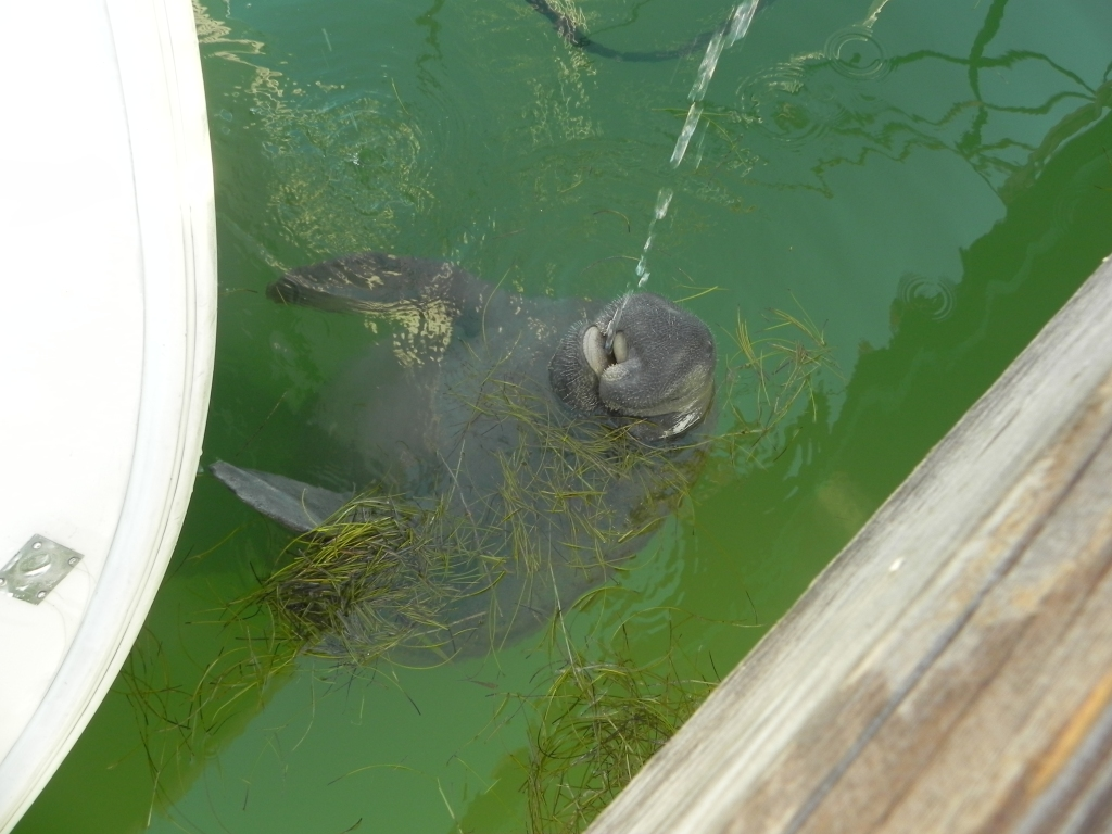 manatee drinking fresh water from hose