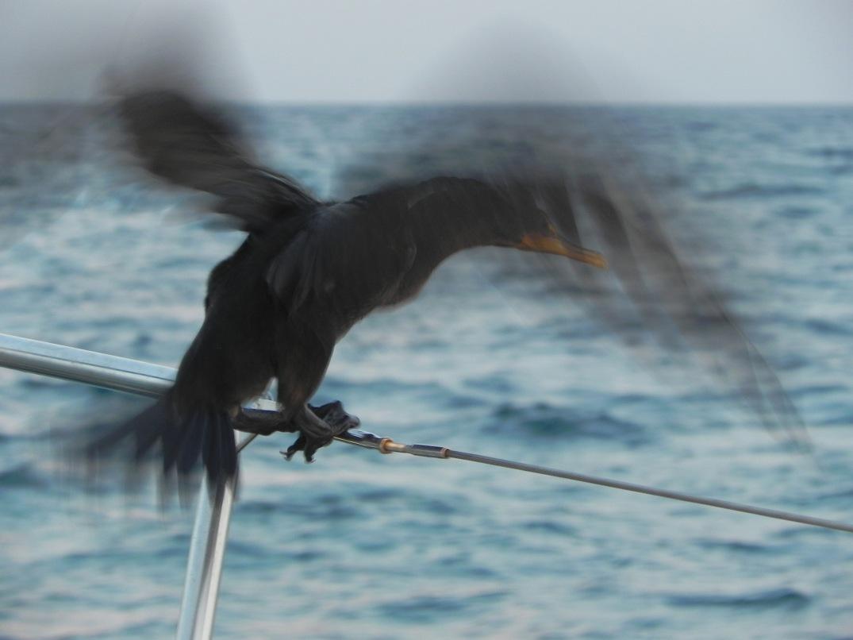 boatbird
